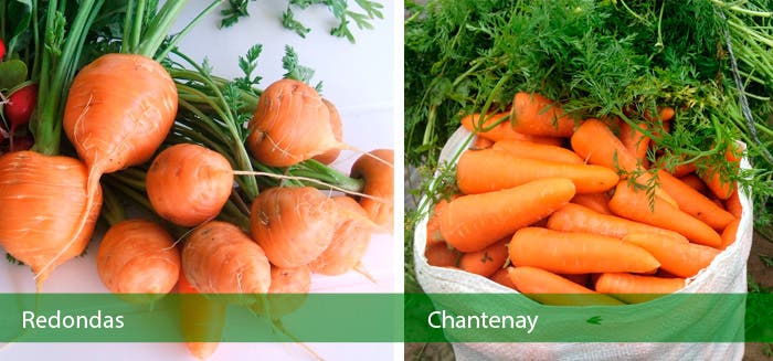Tipos de zanahorias  Redondas y Chantenay