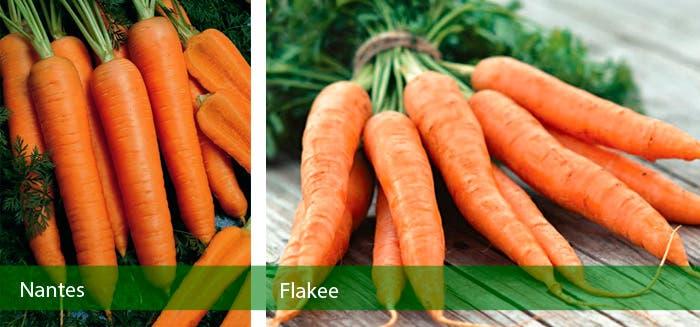 Tipos de zanahoria Nantes y Flakkee