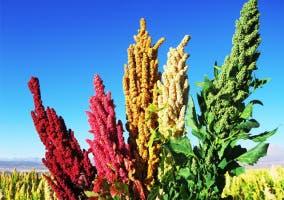 Variedades de la planta de quinoa